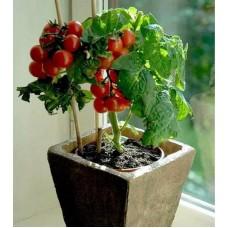 Hediyeli Saksıda Cherry Domates Tohumu 10 Adet